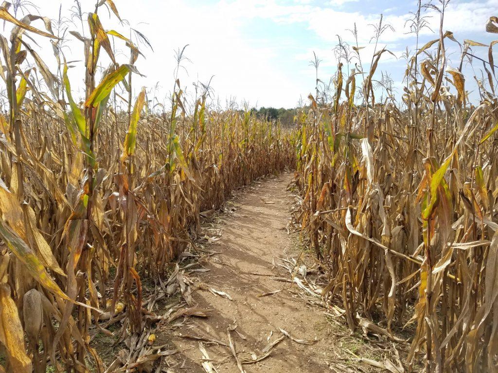 Path inside the corn maze